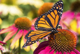 home monarch butterfly usa