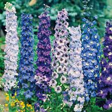 delphinium flower delphinium seeds pacific giants mixed dobies
