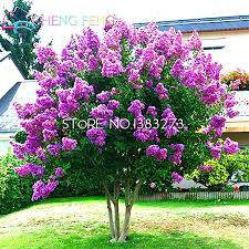sale 30 pcs cheap home plants heirloom seed crape myrtle bonsai