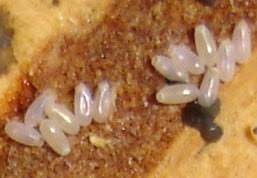 What Kills Bed Bug Eggs See Pictures Of Bed Bugs They Could Already Be Sleeping Next To