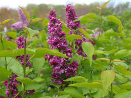 types of lilac bushes at p on home design ideas with hd resolution