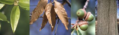 Fruit Tree Identification - trees of ohio shingle oak