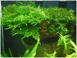 the aquatic plant society u2013 taxiphyllum sp spiky