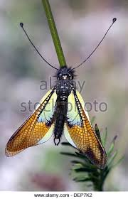 immigrant butterfly stock photos immigrant butterfly stock