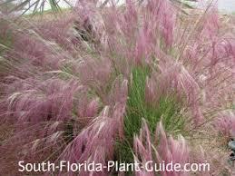 muhly grass muhlenbergia capillaris a beautiful