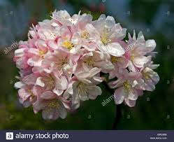malus pink perfection ornamental crab apple stock photo royalty