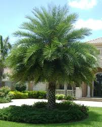 sylvester date palm tree date palm or silver date palm 12 clear trunk or maybe