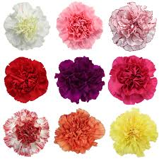 bulk carnations carnations wholesale bulk flowers fiftyflowers
