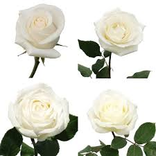 white roses for sale ecuadorian roses fiftyflowers the