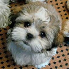 bichon frise puppy cut the new teddy bear puppies are becoming very popular with everyone