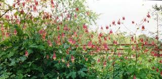columbine plant canadensis eastern columbine seed plants