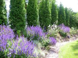 Trees Plants And Flowers - arborvitae and lavender excellent color but the more perennials