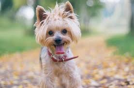 haircuts for yorkie dogs females yorkie haircuts for males and females 60 pictures yorkie life