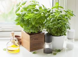 basilic cuisine herbe fraîche de basilic dans la fenêtre de cuisine d huile d