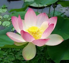 Lotus Flower Tea - vietnamese lotus tea