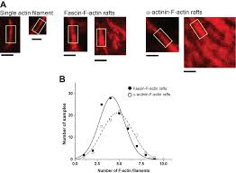 actin structure dependent stepping of myosin 5a and 10 during