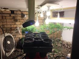 first ever indoor grow moved pots from outdoors to in