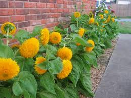 teddy sunflowers images for teddy sunflower garden ideas