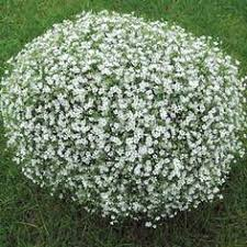 Bulk Baby S Breath How To Grow Gypsophila Baby U0027s Breath From Seeds Gypsophila