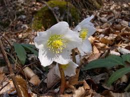 winter poisonous plant helleborus niger the poison diaries