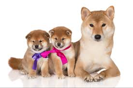 Meme Shiba Inu - shiba inus more than just for memes pets magazine