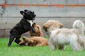 how to pick a good doggy daycare dog gone good training
