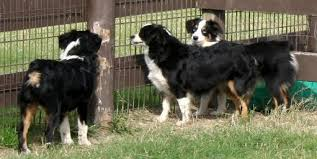 australian shepherd with tail for sale texas miniature toy aussie australian shepherds puppies for sale