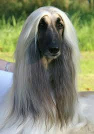 afghan hound snood 808 best afghan hounds images on pinterest