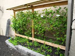 grow your own grapes in alberta with a grape vine trellis u0027beta