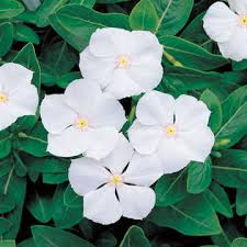 vinca flower pacifica white hybrid vinca flower seeds