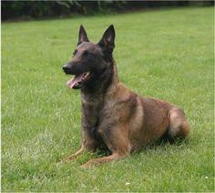 belgian malinois for sale belgium malinois home protection dog scott u0027s police k9 llc
