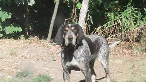 6 month old bluetick coonhound weight bluetick coonhounds chubbs one of the boys bluetick coonhounds