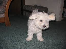 bichon frise names male bichon names