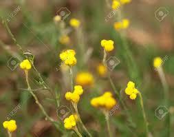 native australian flowering plants australian native wild flower yellow buttons chrysocephalum