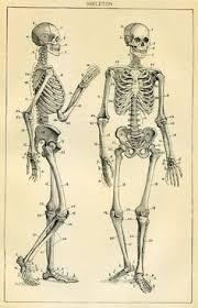 Human Anatomy Skeleton Diagram Gottfried Bammes Die Gestalt Des Menschen Skeleton Bammes