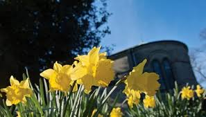 how to plant daffodil bulbs in the spring garden guides
