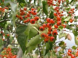 Fruit Tree Identification - hawthorn an ornamental tree with edible fruit eat the planet