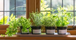 herbs indoors your guide to growing herbs indoors
