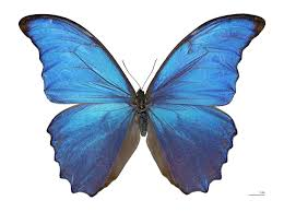 Blue And Green Butterfly - morpho