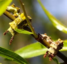 viceroy butterfly caterpillar piedmont gardener