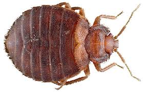 can you see bed bugs with a black light how do you know if your have bed bugs 7 tell tale signs