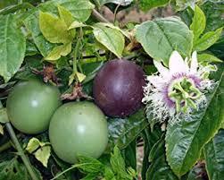 fruit edible passiflora possum purple edible purple