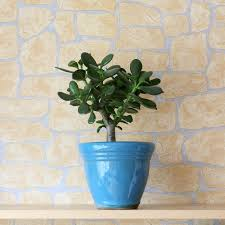 71 best indoor trees images on pinterest house plants inside