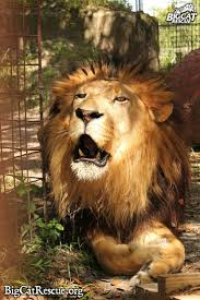 95 best big cats images on pinterest wild animals nature and