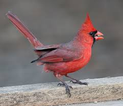 Florida Backyard Birds - backyard bird identification blackbirds cardinal starling crows