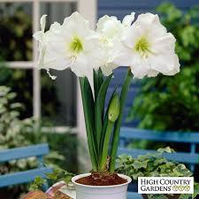 amaryllis bulb gift hippeastrum amaryllis low