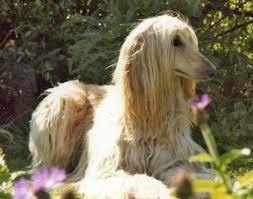 does an afghan hound shed afghan hound breeds and photos and videos list of dogs breeds