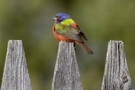 Vermont birds images Painted bunting delights vermont bird watchers vermont center jpg