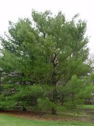 white pine tree any way to make a white pine tree grow denser pennlive