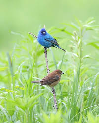 How To Attract Indigo Buntings To Your Backyard Male And Female Indigo Bunting Sandusky County Park District